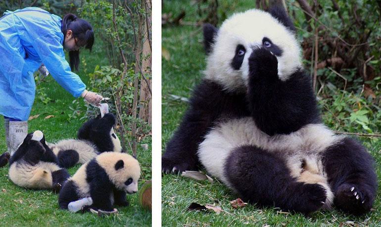 Panda-Station in Chengdu