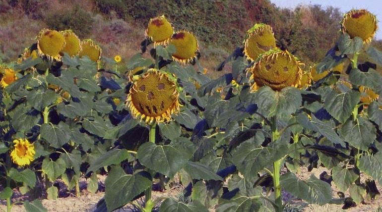 Sonnenblumen auf dem Jakobsweg